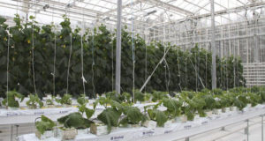 Agronomy students from Kungur (Russia) grow vegetables on mineral wool