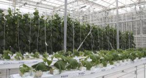В Кунгуре студенты-агрономы выращивают овощи на минеральной вате