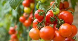 Netherlands grow 15 tomato varieties on basalt fiber